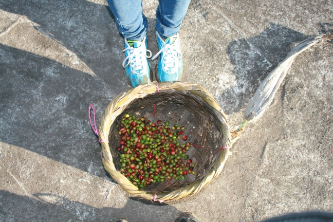 This is an unripe coffee cherry, I picked them myslef.